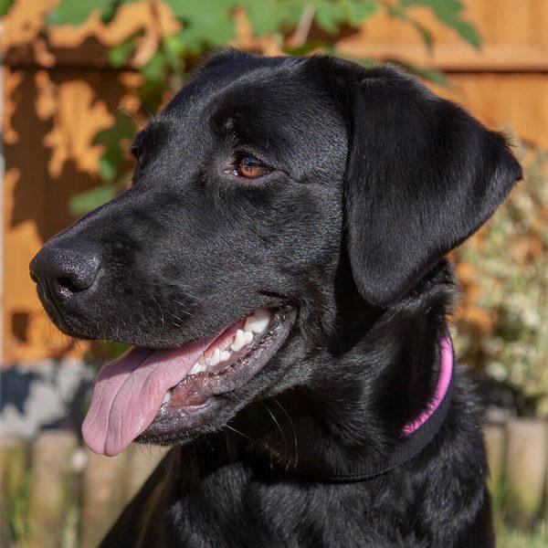 Animology Collar Pink Labrador Luna 1